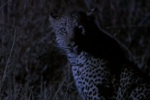 BBC: Леопард - фильм (1997). Кадр из фильма